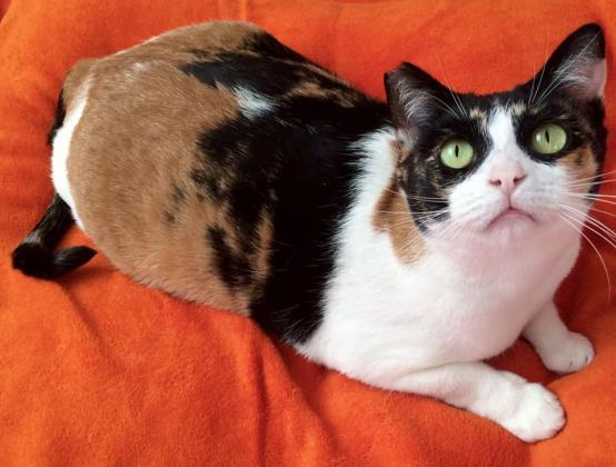 Maxcotea | Foto de CLOTI - Gato, Raza: Gato común europeo | Maxcotea, Adopción de mascotas. Adopción de perros. Adopción de gatos.