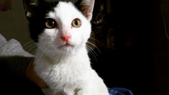 Maxcotea | Foto de PICKACHU - Gato, Raza: Gato común europeo | Maxcotea, Adopción de mascotas. Adopción de perros. Adopción de gatos.