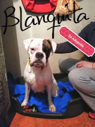 Maxcotea | Foto de BLANQUITA - Perro, Raza: Boxer | Maxcotea, Adopción de mascotas. Adopción de perros. Adopción de gatos.