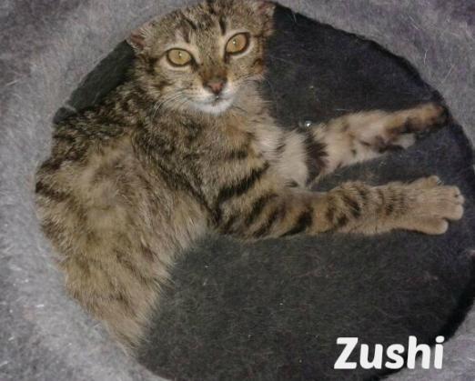 Maxcotea | Foto de Zushi - Gato, Raza: Gato común europeo | Maxcotea, Adopción de mascotas. Adopción de perros. Adopción de gatos.