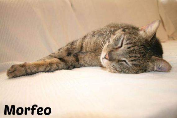 Maxcotea | Foto de Morfeo - Gato, Raza: Gato común europeo | Maxcotea, Adopción de mascotas. Adopción de perros. Adopción de gatos.
