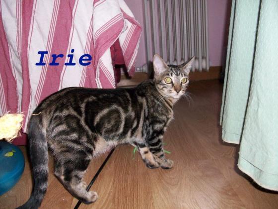 Maxcotea | Foto de Irie - Gato, Raza: Gato común europeo | Maxcotea, Adopción de mascotas. Adopción de perros. Adopción de gatos.