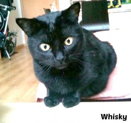 Maxcotea | Foto de Whisky - Gato, Raza: Gato común europeo | Maxcotea, Adopción de mascotas. Adopción de perros. Adopción de gatos.