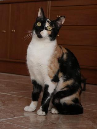 Maxcotea | Foto de RAULITA EN ADOPCION - Gato, Raza: Otro | RAULITA EN ADOPCION | Maxcotea, Adopción de mascotas. Adopción de perros. Adopción de gatos.