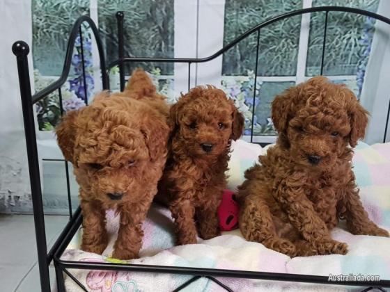 Maxcotea | Foto de caniche toy - Perro, Raza: Caniche (o Poodle) | Maxcotea, Adopción de mascotas. Adopción de perros. Adopción de gatos.