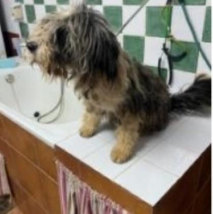 Maxcotea | Foto de Nasaui - Perro, Raza: Bobtail | Nasaui | Maxcotea, Adopción de mascotas. Adopción de perros. Adopción de gatos.
