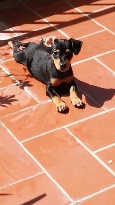 Maxcotea | Foto de NUT - Perro, Raza: Pinscher | Maxcotea, Adopción de mascotas. Adopción de perros. Adopción de gatos.