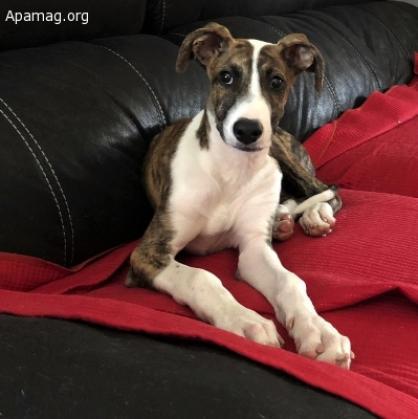 Maxcotea | Foto de Evie - Perro, Raza: Galgo Espanol | Maxcotea, Adopción de mascotas. Adopción de perros. Adopción de gatos.