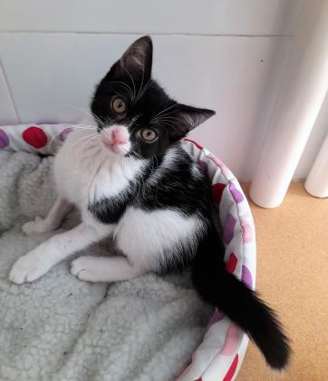 Maxcotea | Foto de Romeo - Gato, Raza: Gato común europeo | Maxcotea, Adopción de mascotas. Adopción de perros. Adopción de gatos.