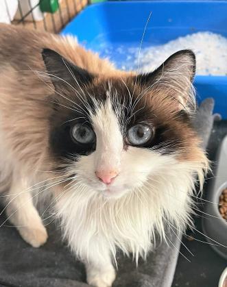 Maxcotea | Foto de Trenzas - Gato, Raza: Gato común europeo | Maxcotea, Adopción de mascotas. Adopción de perros. Adopción de gatos.