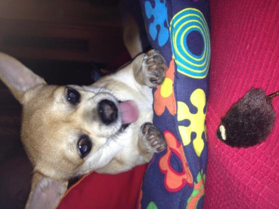 Maxcotea | Foto de Leoncio - Perro, Raza: Chihuahua | Maxcotea, Adopción de mascotas. Adopción de perros. Adopción de gatos.
