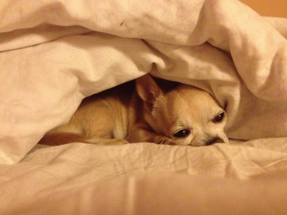 Maxcotea | Foto de Txula - Perro, Raza: Chihuahua | Maxcotea, Adopción de mascotas. Adopción de perros. Adopción de gatos.