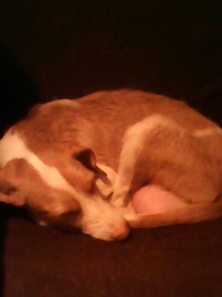 Maxcotea | Foto de chica - Perro, Raza: Podenco Ibicenco | Maxcotea, Adopción de mascotas. Adopción de perros. Adopción de gatos.