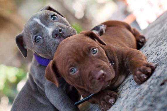 Maxcotea | Foto de Dulce Blueline Amstaff - Pitbull - Perro, Raza: American Staffordshire | Maxcotea, Adopción de mascotas. Adopción de perros. Adopción de gatos.