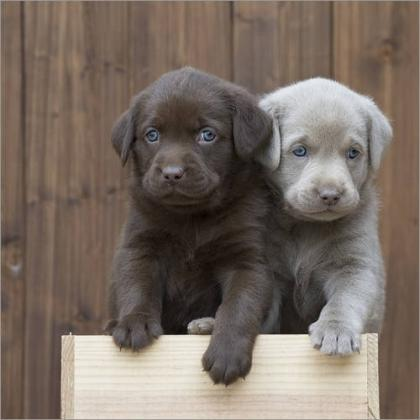 Maxcotea | Foto de Hermosos cachorros de labrador - Perro, Raza: Labrador Retriever | Maxcotea, Adopción de mascotas. Adopción de perros. Adopción de gatos.