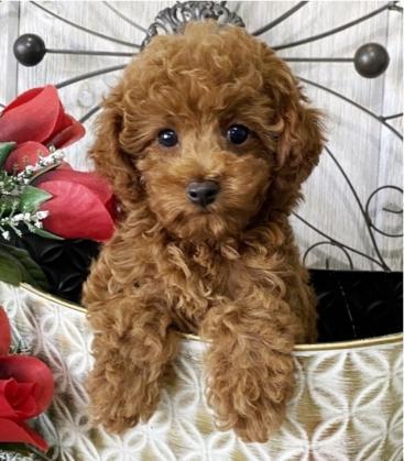 Maxcotea | Foto de milo y mimi - Perro, Raza: Caniche (o Poodle) | Maxcotea, Adopción de mascotas. Adopción de perros. Adopción de gatos.