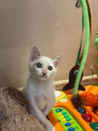 Maxcotea | Foto de TOKIO EN ADOPCION - Gato, Raza: Otro | Maxcotea, Adopción de mascotas. Adopción de perros. Adopción de gatos.