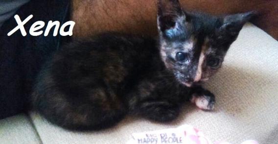 Maxcotea | Foto de Xena - Gato, Raza: Gato común europeo | Maxcotea, Adopción de mascotas. Adopción de perros. Adopción de gatos.