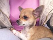 Maxcotea | Foto de pepita - Perro, Raza: Chihuahua | Maxcotea, Adopción de mascotas. Adopción de perros. Adopción de gatos.