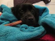 Maxcotea | Foto de Beltzita Rastreator - Perro, Raza: Otro | Maxcotea, Adopción de mascotas. Adopción de perros. Adopción de gatos.