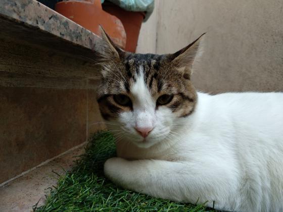 Maxcotea | Foto de Thor - Gato, Raza: Gato común europeo | 🌸Thor🌸 | Maxcotea, Adopción de mascotas. Adopción de perros. Adopción de gatos.