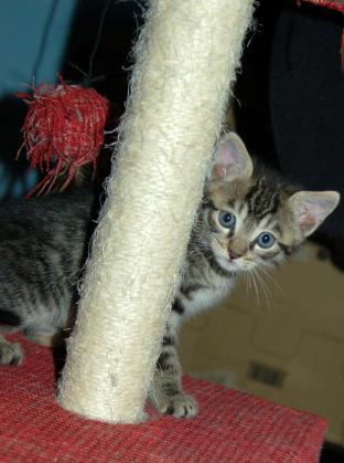 Maxcotea | Foto de Jack - Gato, Raza: Gato común europeo | Maxcotea, Adopción de mascotas. Adopción de perros. Adopción de gatos.