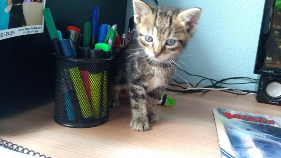 Maxcotea | Foto de Corso - Gato, Raza: Gato común europeo | Maxcotea, Adopción de mascotas. Adopción de perros. Adopción de gatos.