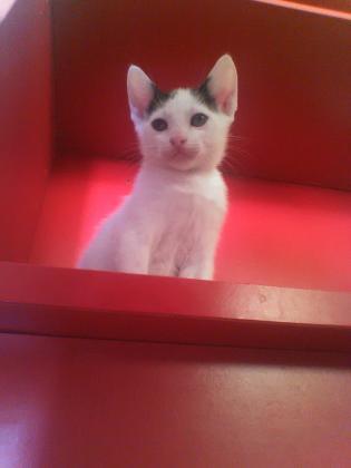 Maxcotea | Foto de Chipre - Gato, Raza: Gato común europeo | Maxcotea, Adopción de mascotas. Adopción de perros. Adopción de gatos.