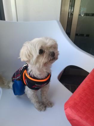 Maxcotea | Foto de Jackie - Perro, Raza: Bichon maltes | Maxcotea, Adopción de mascotas. Adopción de perros. Adopción de gatos.