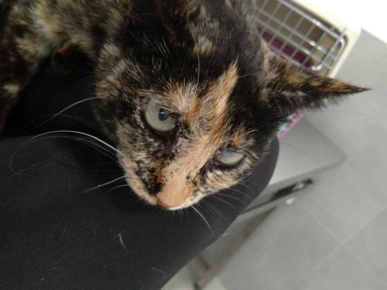 Maxcotea | Foto de Irina - Gato, Raza: Gato común europeo | Maxcotea, Adopción de mascotas. Adopción de perros. Adopción de gatos.