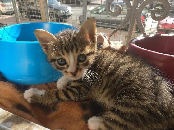 Maxcotea | Foto de Frida - Gato, Raza: Gato común europeo | Maxcotea, Adopción de mascotas. Adopción de perros. Adopción de gatos.