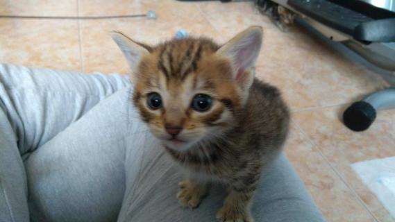 Maxcotea | Foto de Nala - Gato, Raza: Gato común europeo | Maxcotea, Adopción de mascotas. Adopción de perros. Adopción de gatos.