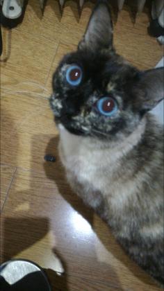 Maxcotea | Foto de Maga - Gato, Raza: Siames | Maxcotea, Adopción de mascotas. Adopción de perros. Adopción de gatos.