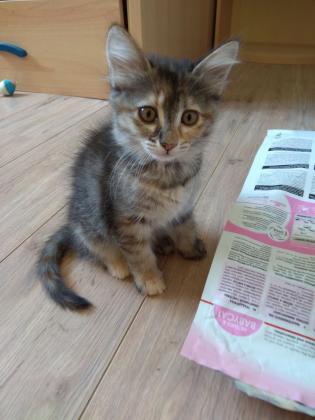 Maxcotea | Foto de Princess en adopcion - Gato, Raza: Gato común europeo | Maxcotea, Adopción de mascotas. Adopción de perros. Adopción de gatos.
