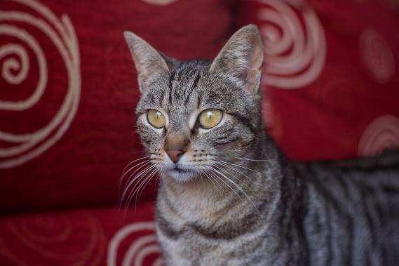 Maxcotea | Foto de Molly - Gato, Raza: Gato común europeo | Maxcotea, Adopción de mascotas. Adopción de perros. Adopción de gatos.