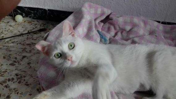 Maxcotea | Foto de Rabbit - Gato, Raza: Gato común europeo | Maxcotea, Adopción de mascotas. Adopción de perros. Adopción de gatos.