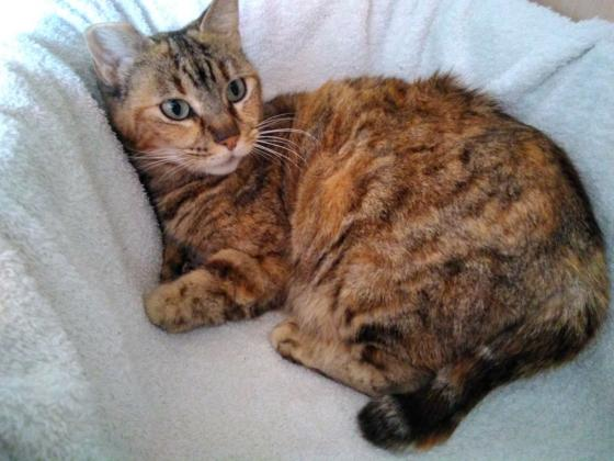 Maxcotea | Foto de Keisi - Gato, Raza: Gato común europeo | Maxcotea, Adopción de mascotas. Adopción de perros. Adopción de gatos.