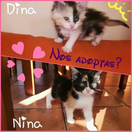 Maxcotea | Foto de Dina - Gato, Raza: Gato común europeo | Maxcotea, Adopción de mascotas. Adopción de perros. Adopción de gatos.