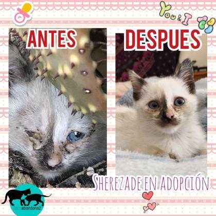 Maxcotea | Foto de Sherezade - Gato, Raza: Gato común europeo | Maxcotea, Adopción de mascotas. Adopción de perros. Adopción de gatos.