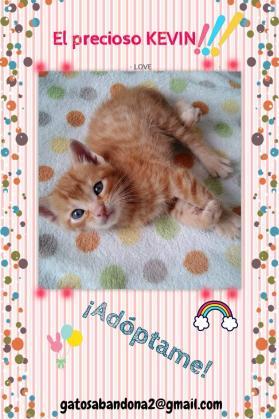 Maxcotea | Foto de Kevin - Gato, Raza: Gato común europeo | Maxcotea, Adopción de mascotas. Adopción de perros. Adopción de gatos.
