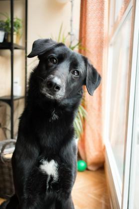 Maxcotea | Foto de Trosky - Perro, Raza: Labrador Retriever | Maxcotea, Adopción de mascotas. Adopción de perros. Adopción de gatos.