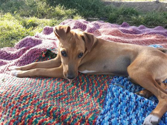 Maxcotea | Foto de Ícaro - Perro, Raza: Pinscher | Icaro | Maxcotea, Adopción de mascotas. Adopción de perros. Adopción de gatos.