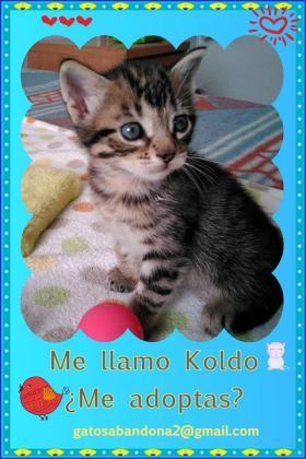 Maxcotea | Foto de KOLDO - Gato, Raza: Gato común europeo | Maxcotea, Adopción de mascotas. Adopción de perros. Adopción de gatos.