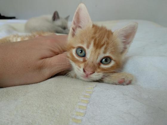 Maxcotea | Foto de Odeth - Gato, Raza: Gato común europeo | Maxcotea, Adopción de mascotas. Adopción de perros. Adopción de gatos.