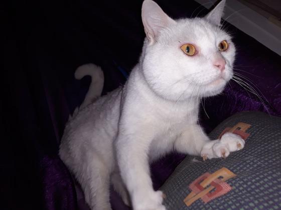 Maxcotea | Foto de Uriel - Gato, Raza: Gato común europeo | Maxcotea, Adopción de mascotas. Adopción de perros. Adopción de gatos.