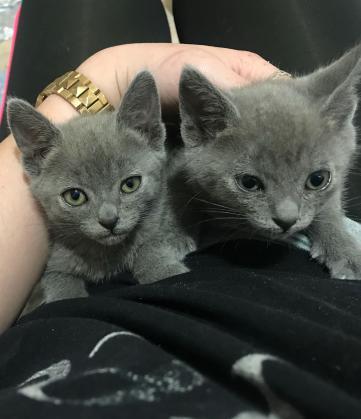 Maxcotea | Foto de Romeo y Morena - Gato, Raza: Azul Ruso | Maxcotea, Adopción de mascotas. Adopción de perros. Adopción de gatos.