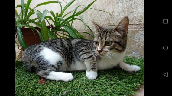 Maxcotea | Foto de Terra  - Gato, Raza: Gato común europeo | Maxcotea, Adopción de mascotas. Adopción de perros. Adopción de gatos.
