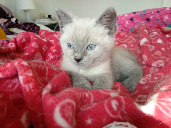 Maxcotea | Foto de Richard Gere - Gato, Raza: Siames | Maxcotea, Adopción de mascotas. Adopción de perros. Adopción de gatos.