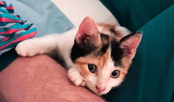 Maxcotea | Foto de Bonnie - Gato, Raza: Gato común europeo | Maxcotea, Adopción de mascotas. Adopción de perros. Adopción de gatos.