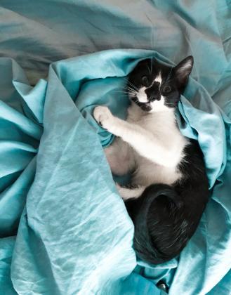 Maxcotea | Foto de Prince - Gato, Raza: Gato común europeo | Maxcotea, Adopción de mascotas. Adopción de perros. Adopción de gatos.